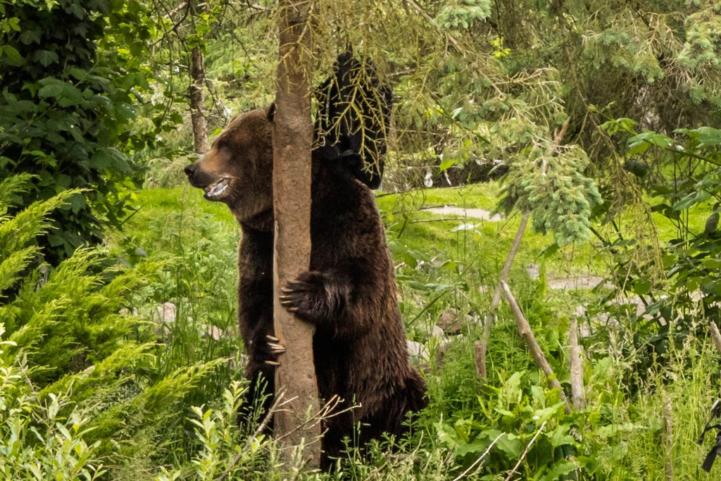 bear, grizzly bear, woodland park zoo