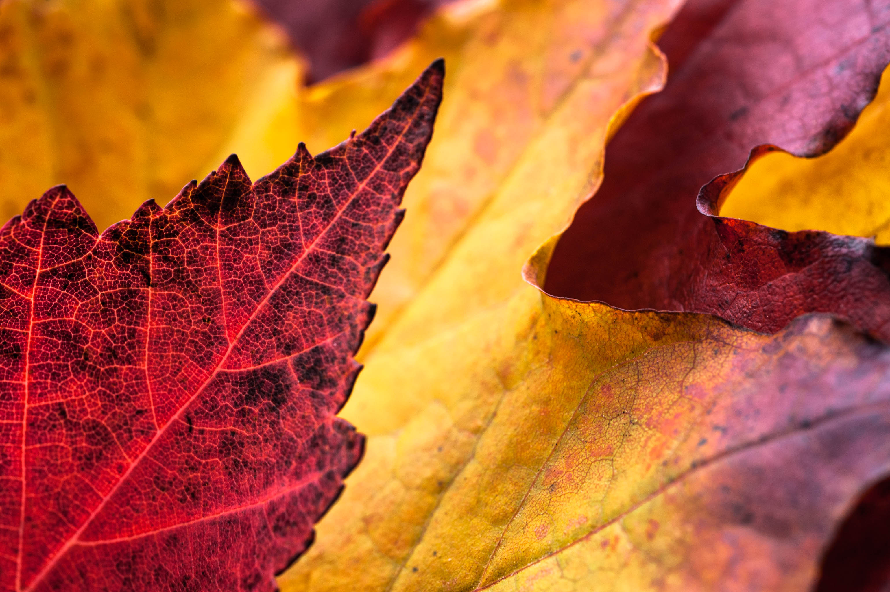 Fall Leaves, autumn, fall, leaves, red, yellow