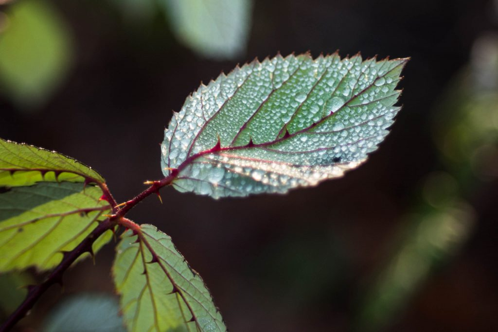 boeing creek park, dew, leaf, macro, shoreline park