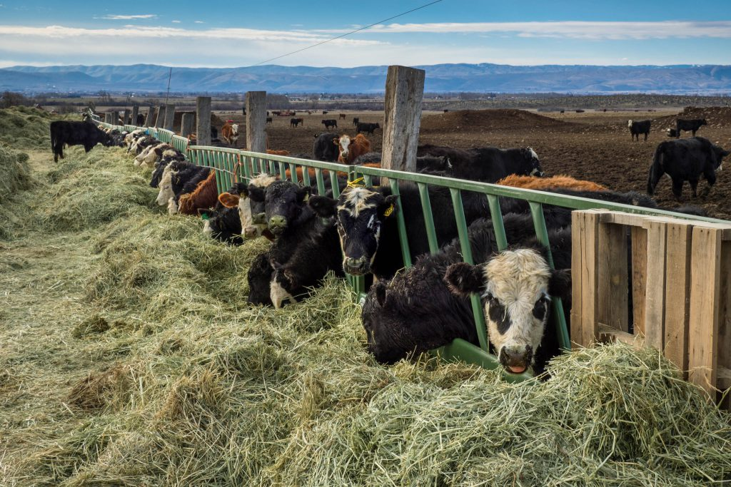 Washington, calves, cows, ellensburg, livestock