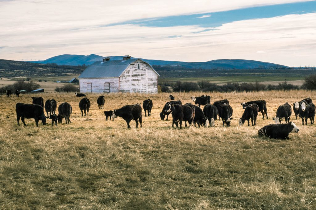 Washington, barn, calves, cows, ellensburg, livestock