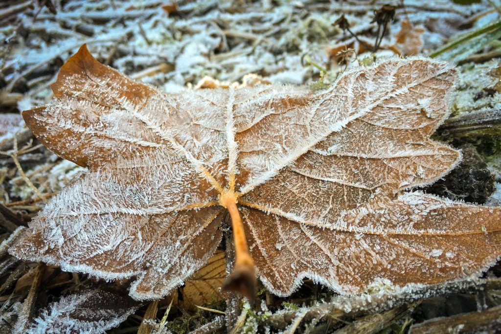 Winter, forest, frost, leaf, leaves
