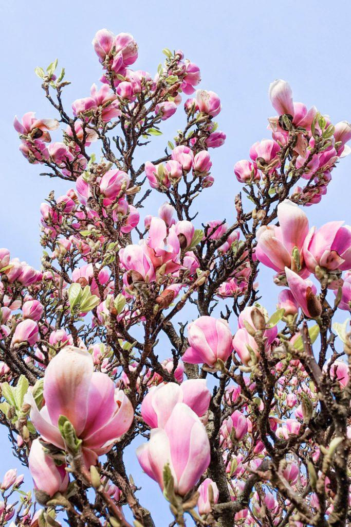 magnolia flowers, spring