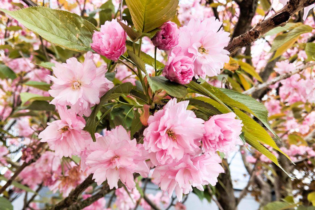 cherry blossom, cherry blossoms, pink blossoms, pink flowers, spring, spring flowers
