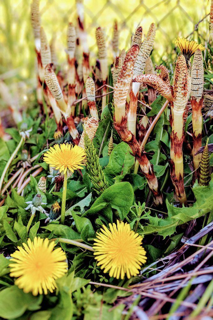 dandelions, field horsetail, flowers, spring