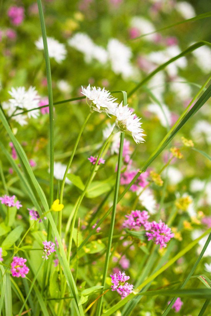 BC, Canada, Gabriola Island, wildflowers