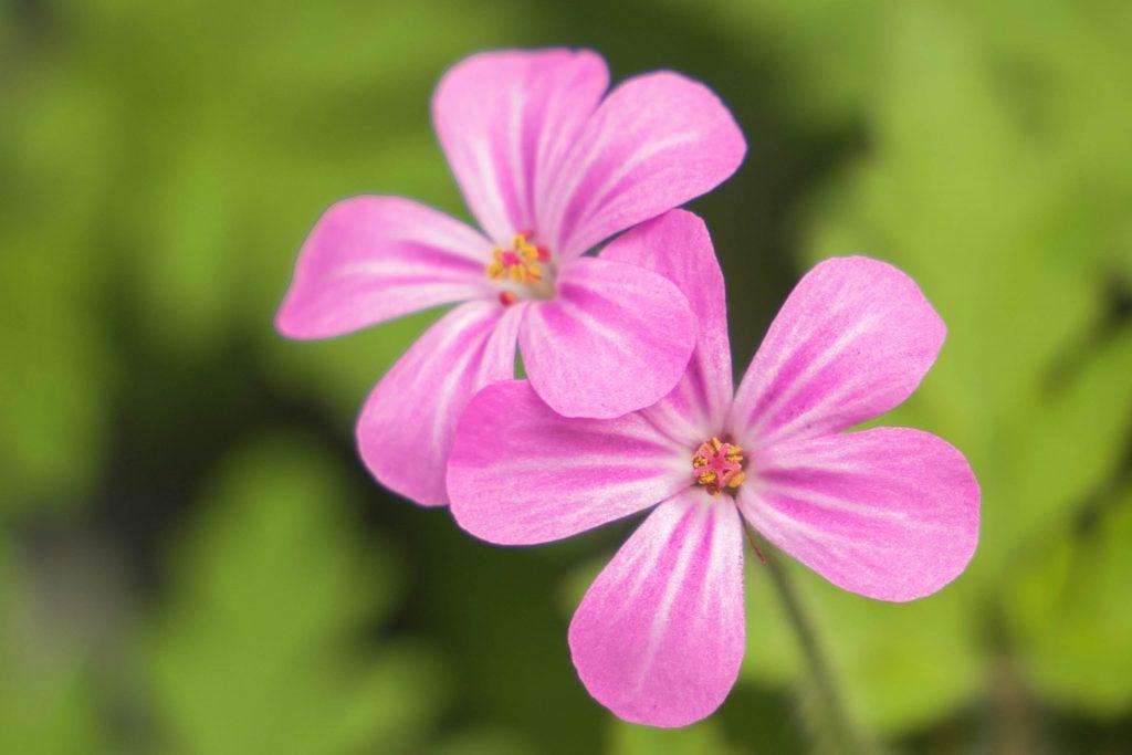 flower, flowers, pink flowers, spring