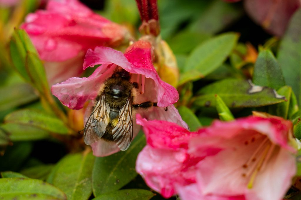 Whidbey Island, bees, bumble bee, flowers, garden, island, meerkerk gardens, rhododendron, rhododendrons, spring