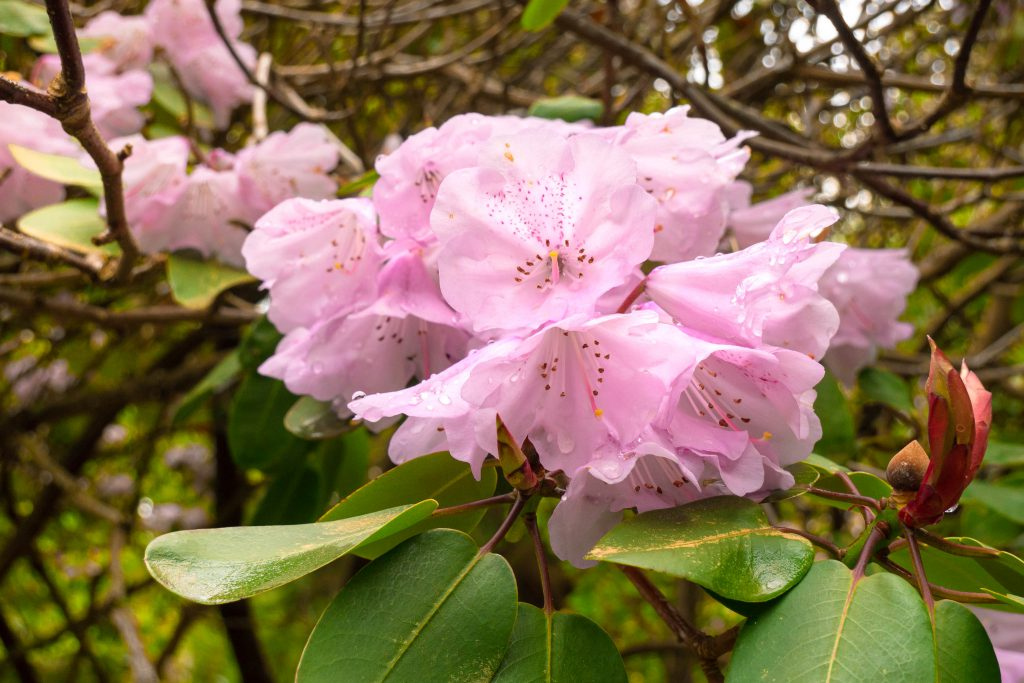 Whidbey Island, flowers, garden, island, meerkerk gardens, rhododendron, rhododendrons, spring