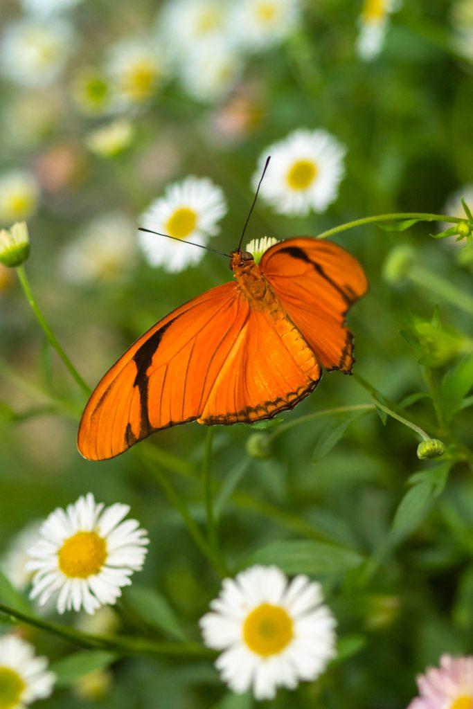 butterflies, butterfly, julia heliconian, molback's butterfly garden, nature, woodland park zoo