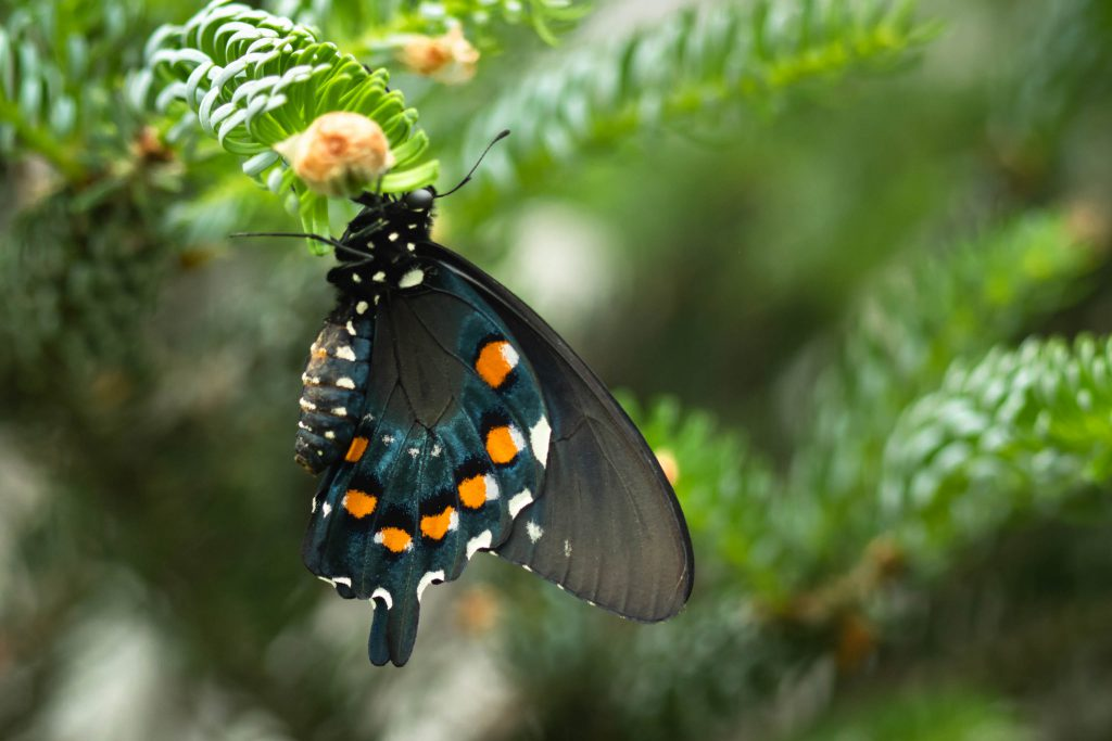 butterflies, butterfly, molback's butterfly garden, nature, pipevine swallowtail, woodland park zoo