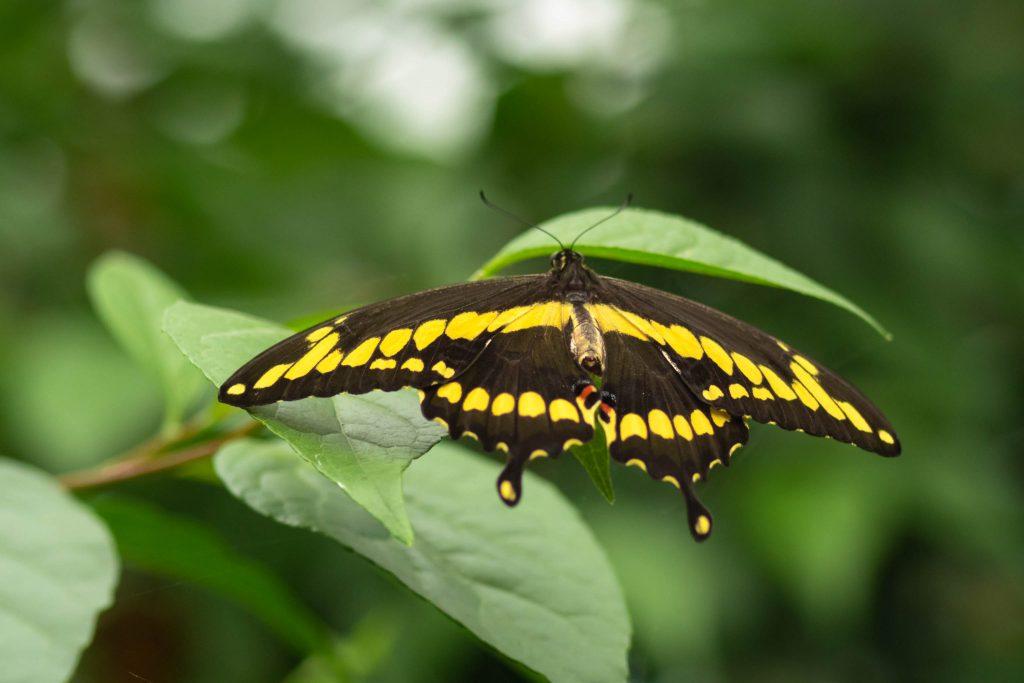 butterflies, butterfly, giant swallowtail, molback's butterfly garden, nature, woodland park zoo