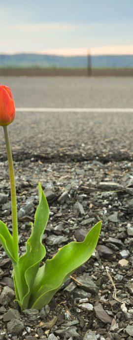 road tulip, roadside flower, tulip, tulip flower, tulips