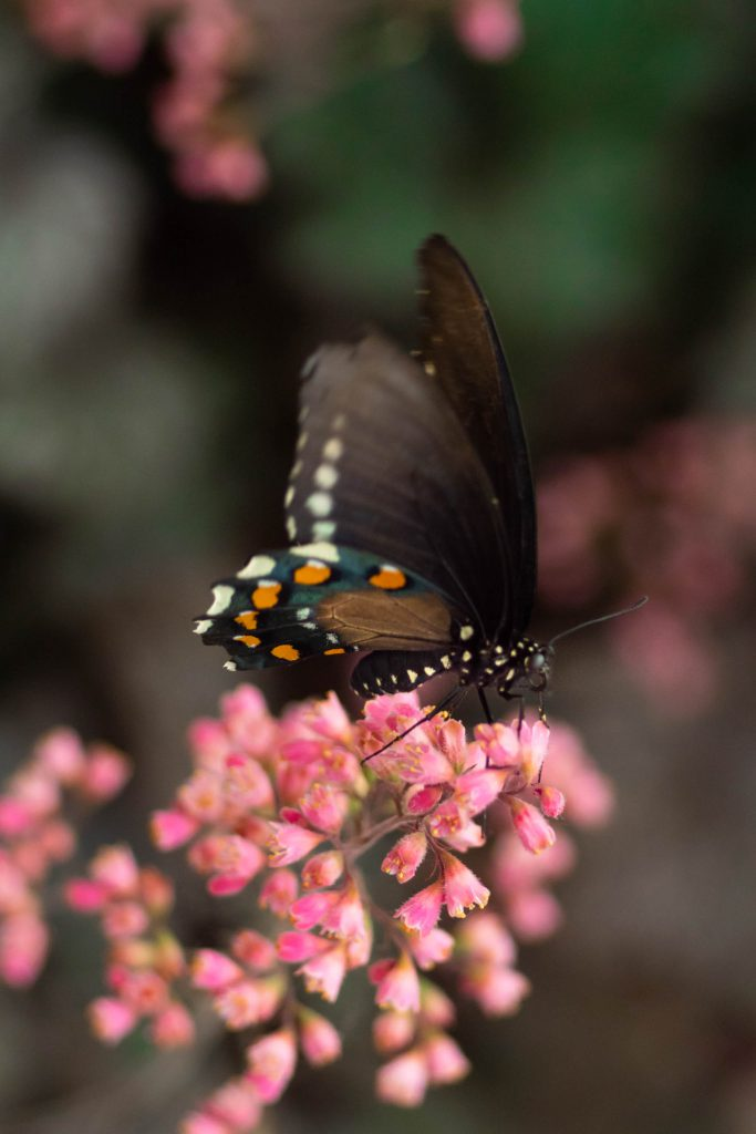 butterflies, butterfly, nature, pipevine swallowtail butterfly, swallowtail