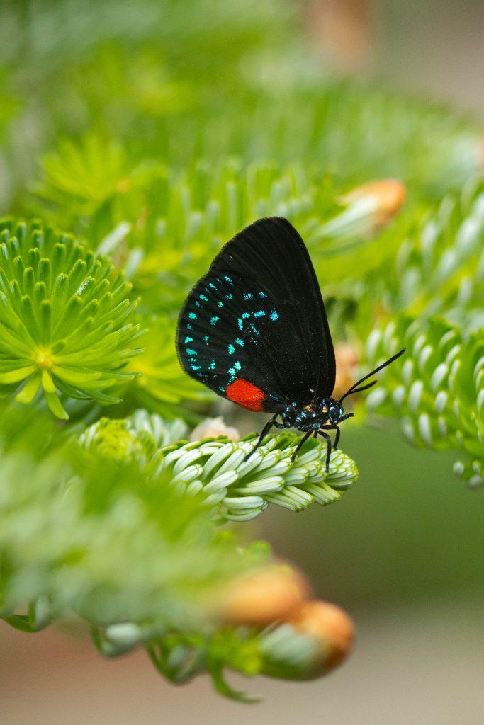 Atala hairstreak butterfly, atala, butterflies, butterfly, nature