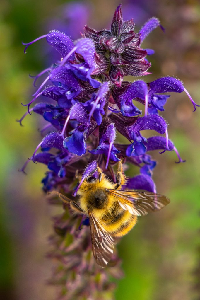 bees, bumble bee, lavender, nature, pollination
