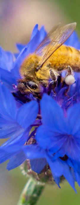 bees, honey bee, nature, pollination