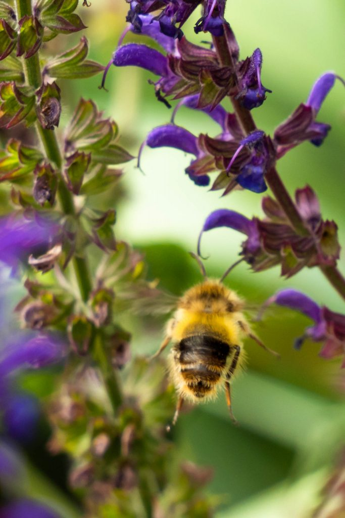 bees, honey bee, lavender, nature, pollination