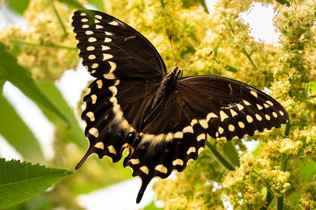 black swallowtail butterfly, butterflies, butterfly, nature