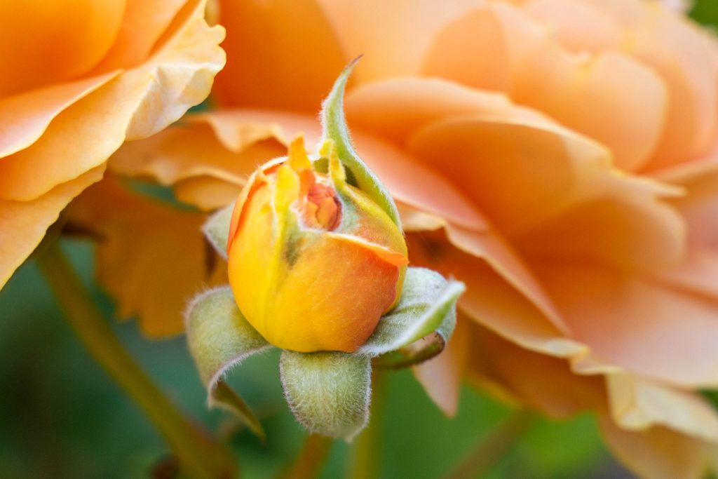 Honey Perfume Floribunda Buds, orange rose, rose, rose garden, roses, seattle rose garden, woodland park rose garden