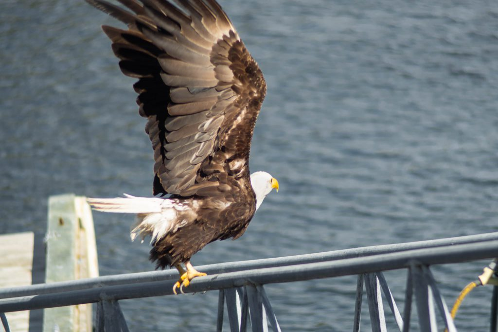 BC, bald eagle, bird, bird on dock, british columbia, eagle, nature, pender island