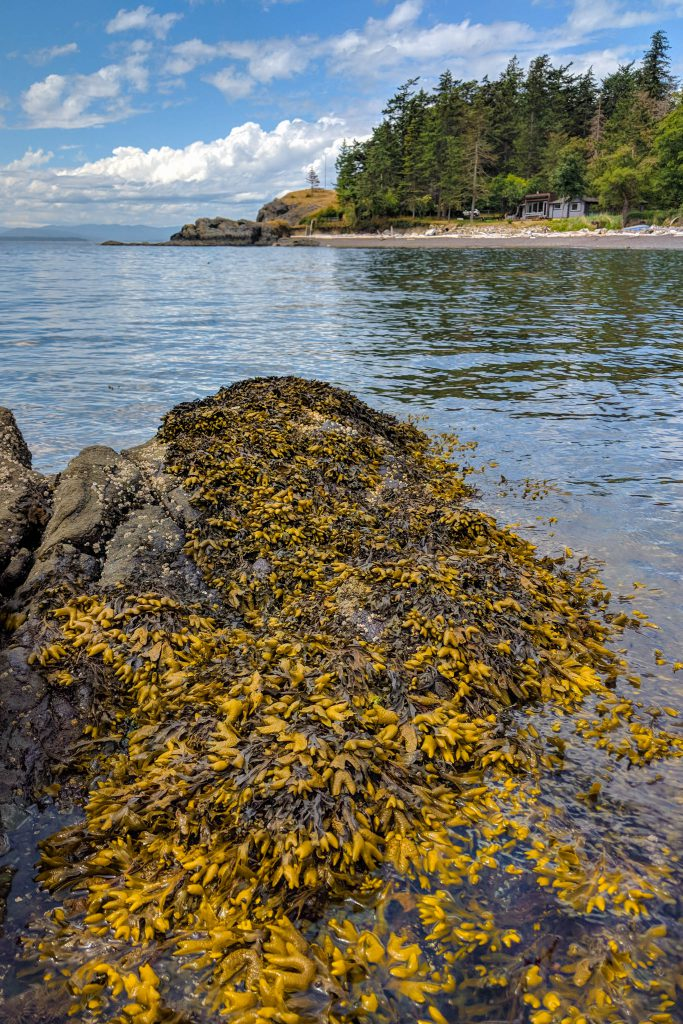 BC, british columbia, island, pender island, sea kelp