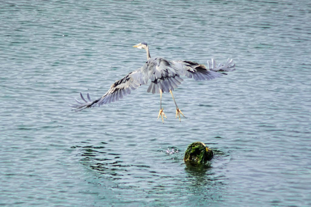 BC, blue heron, british columbia, great blue heron, island, pender island