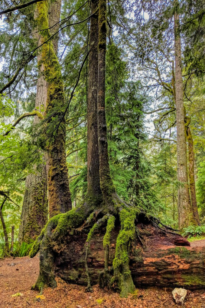 Lake Crescent, Olympic National Park, gian tree, moss tree, tree covered with moss