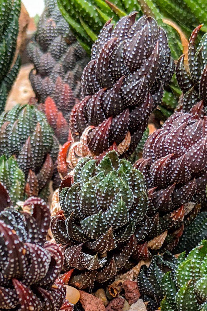 cacti, cacti plant, cactus, cactus plant, succulent, succulent plant