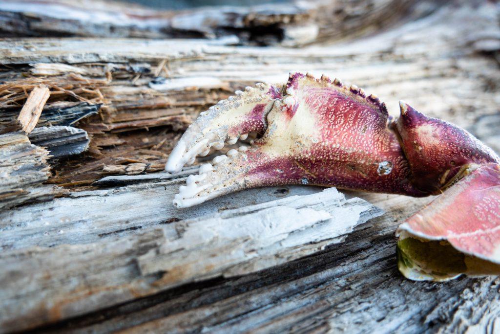 crab claw, crab leg, crab shell, crabs, ocean crab