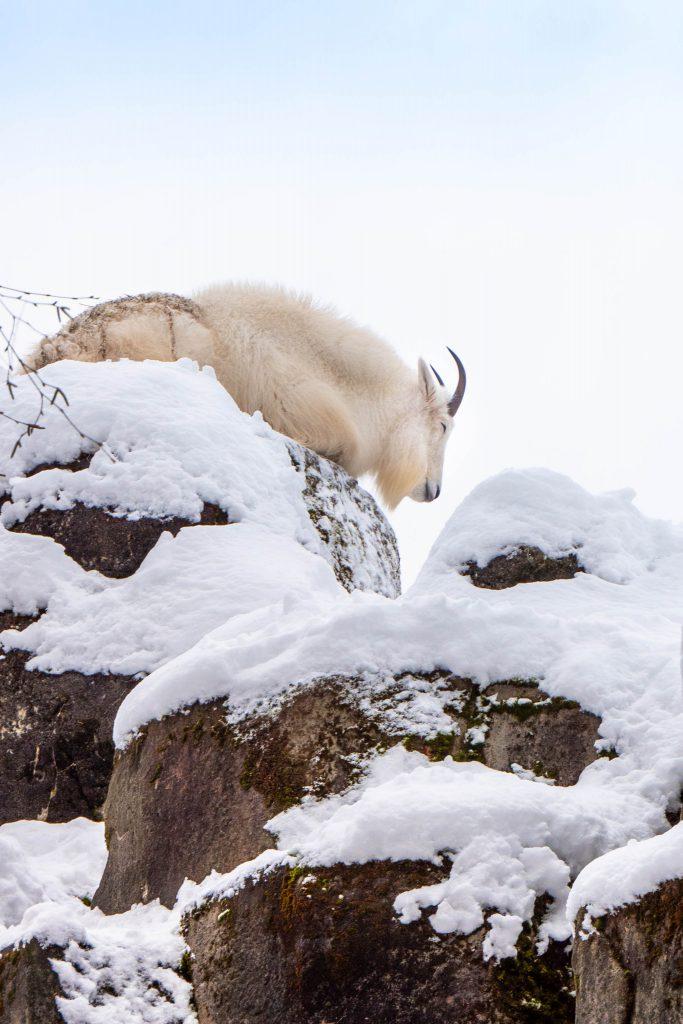 Winter, mountain goat, mountain goats, seattle zoo, woodland park zoo