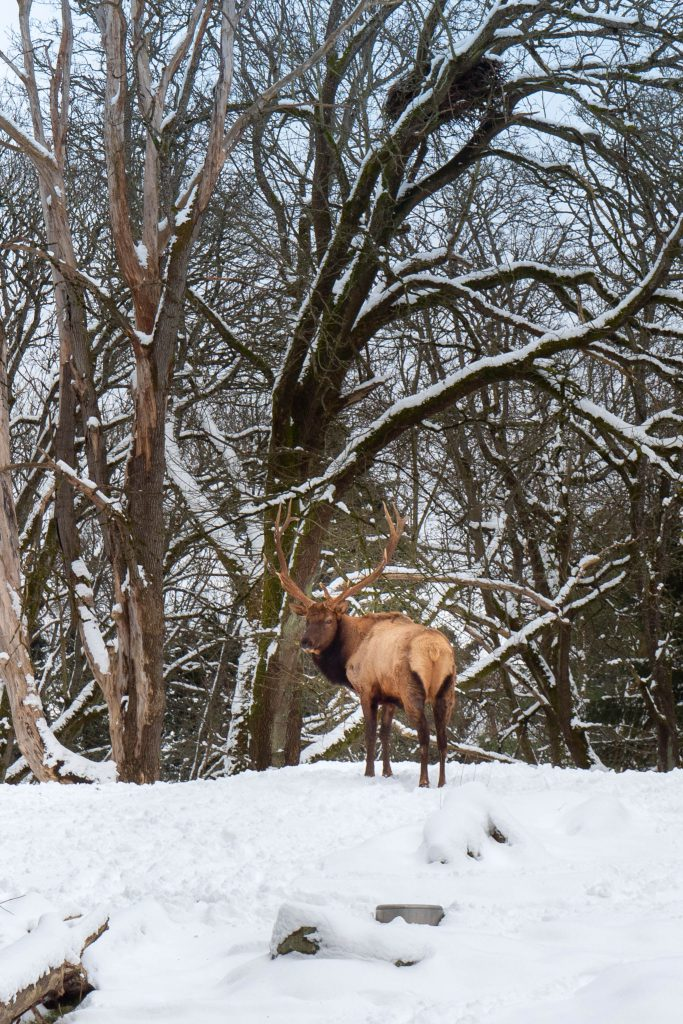 Winter, bull elk, elk, seattle zoo, woodland park zoo