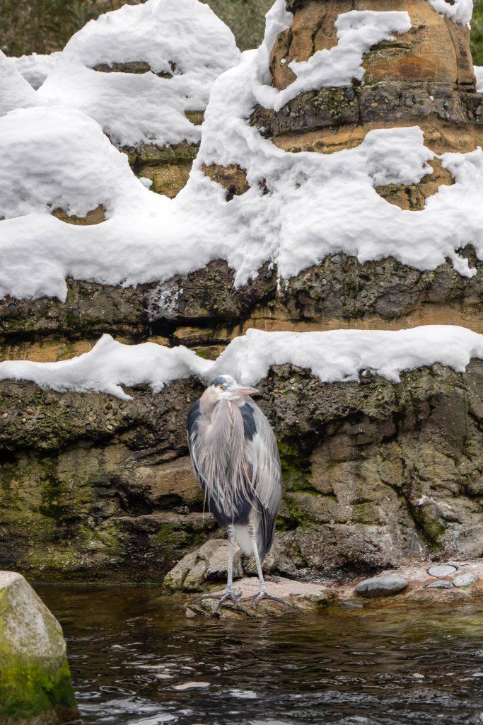 Winter, bird, great blue heron, heron, heron bird, seattle zoo, woodland park zoo