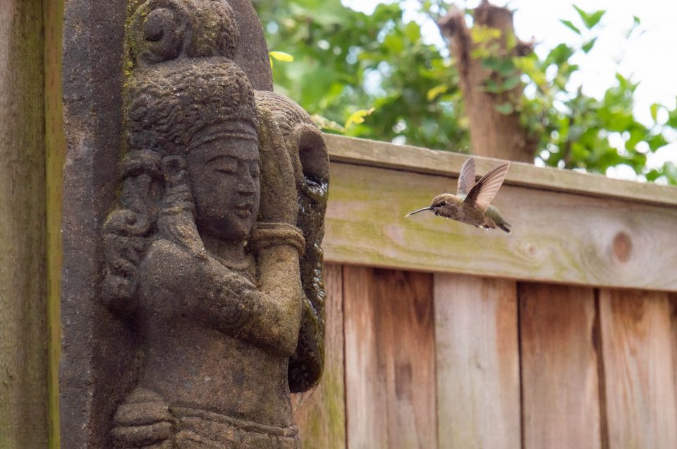 backyard birds, bird, hummingbird